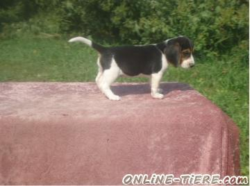 Biete  Beagle