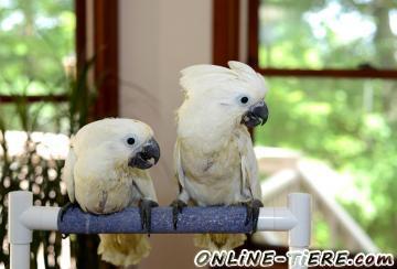 Biete  Weißhauben/Kakadu