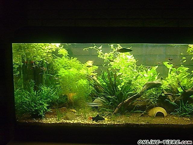 180l aquarium komplett mit fischen pflanzen top und 66978. Black Bedroom Furniture Sets. Home Design Ideas