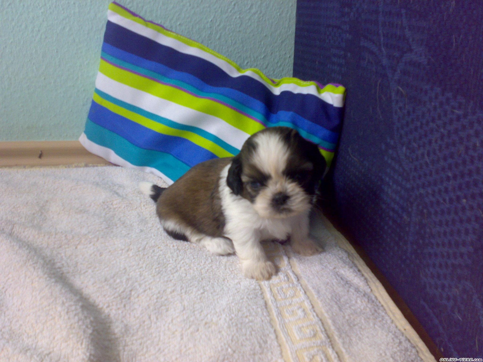 Obi Gartenmobel Abdeckung : ShihTzu Welpe 75175 Pforzheim Hunde zu verkaufen 1675 Kleinanzeigen