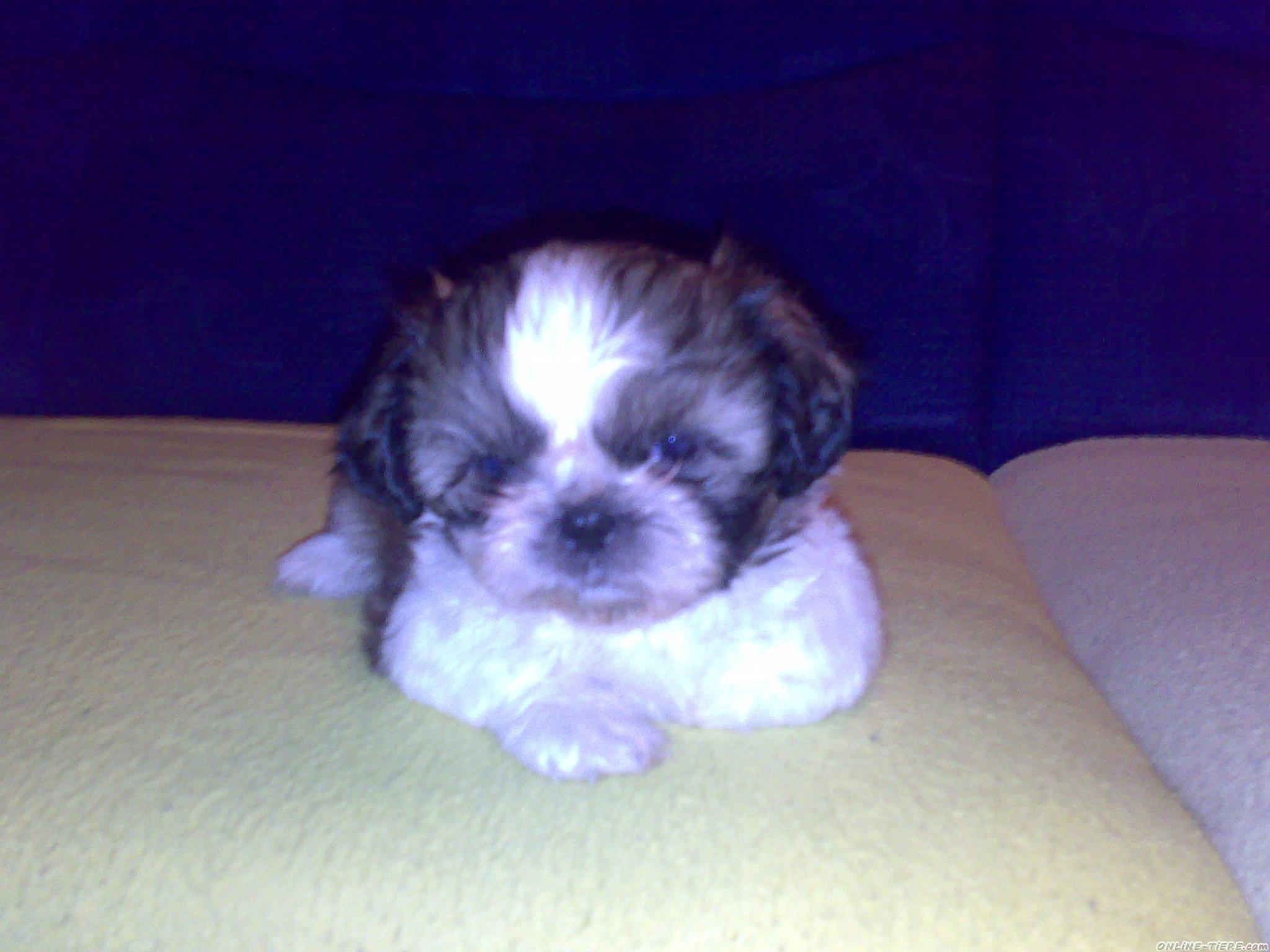 ShihTzu Welpe 75175 Pforzheim Hunde zu verkaufen 1824 Kleinanzeigen