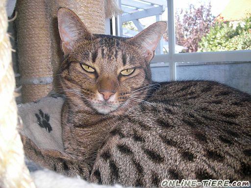 wer sucht das au ergew hnliche eine ocicat 55545 bad kreuznach winzenheim katzen zu verkaufen. Black Bedroom Furniture Sets. Home Design Ideas