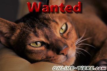 Suche Abessinier Katze, Wildfarben