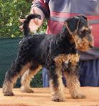 Biete Airedale Terrier
