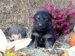 Biete Altdeutsche Schäferhund Welpen