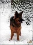 Biete Altdeutsche schäferhund
