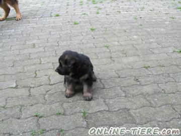 Biete Altdeutscher Schäferhund