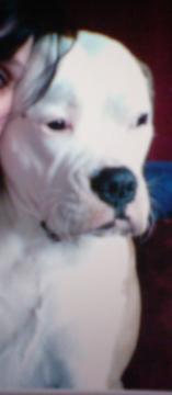 Biete Am. Bulldogge weiblich
