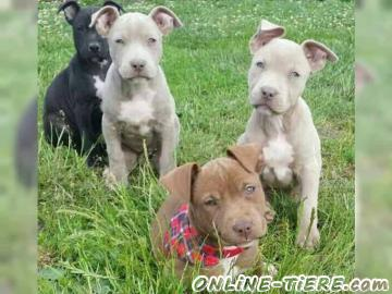 Biete American Pit Bull Terrier