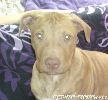 Biete American Pitbull Terrier