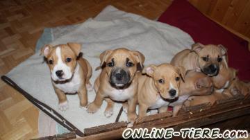 Wunderschone Amstaff Welpen 4784 Gattern Oberosterreich Bei Passau Hunde Zu Verkaufen 10457 Kleinanzeigen