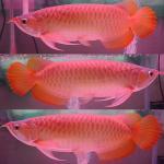 Biete Arowana/Fisch