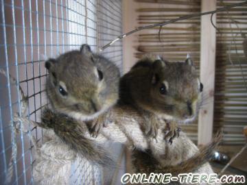 Biete Baumstreifenhörnchen, Streifenhörnchen