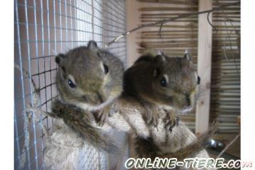 Biete Baumstreifenhörnchen