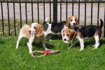 Biete Beagle Welpen