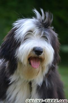 Biete Bearded Collie