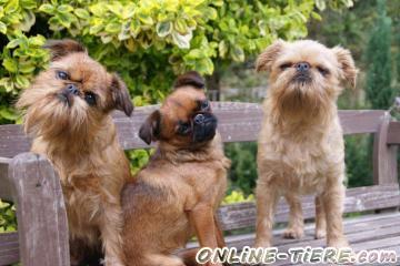 Biete Belgischer Zwerggriffon, Kleinhund, Begleithund