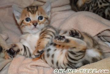 Biete Bengal-Kätzchen