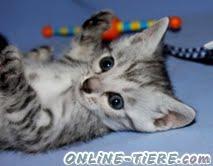 Biete Bengal, Katzen, Kitten,