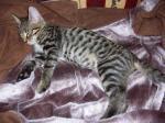 Biete Bengalische,Katze