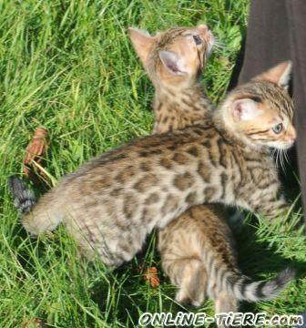 Biete Bengalkatzen