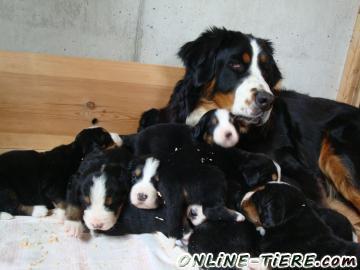 Biete Berner Sennenhund Welpen