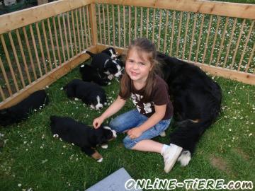 Biete Bernersennen Hund