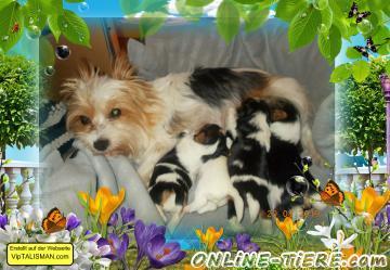 Biete Biewer-Yorkshire-Terrier