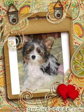 Biete Biewer yorkshire Terrier