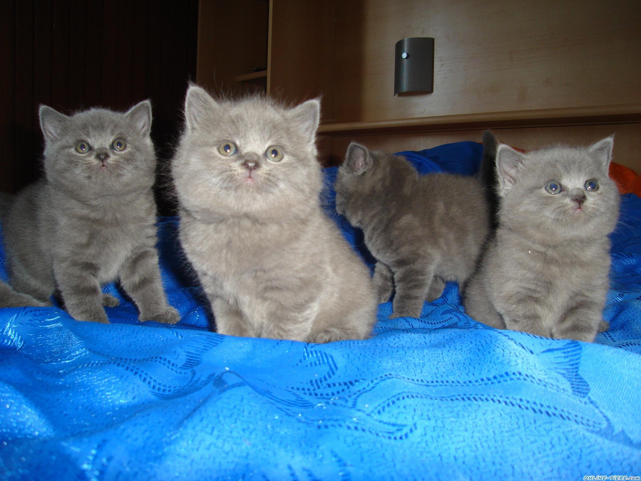 bkh kitten zu verkaufen 34132 kassel katzen zu verkaufen 7450 kleinanzeigen. Black Bedroom Furniture Sets. Home Design Ideas