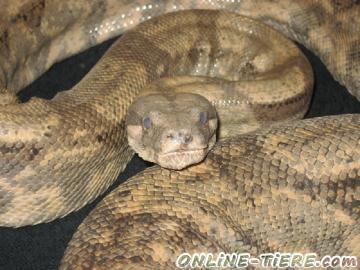 Biete Boa constrictor