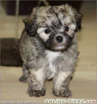 bolonka zwetna welpen der ideale familienhund 34117 kassel hunde zu verkaufen 7939 kleinanzeigen. Black Bedroom Furniture Sets. Home Design Ideas