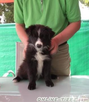 Biete Border Collie
