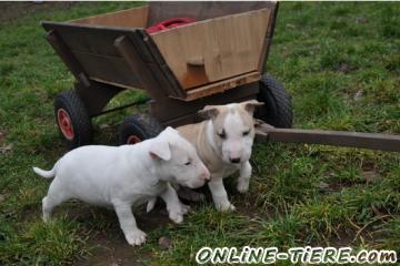 Biete Bull Terrier