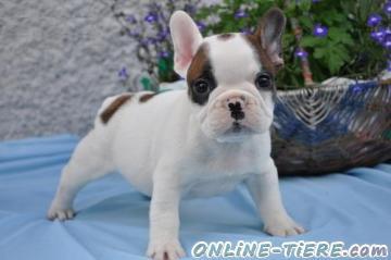 Biete Bulldogge