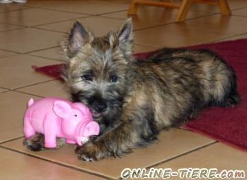cairn terrier welpe 53721 siegburg hunde zu verkaufen 10194 kleinanzeigen. Black Bedroom Furniture Sets. Home Design Ideas