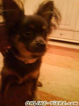Biete Chihuahua Langhaar