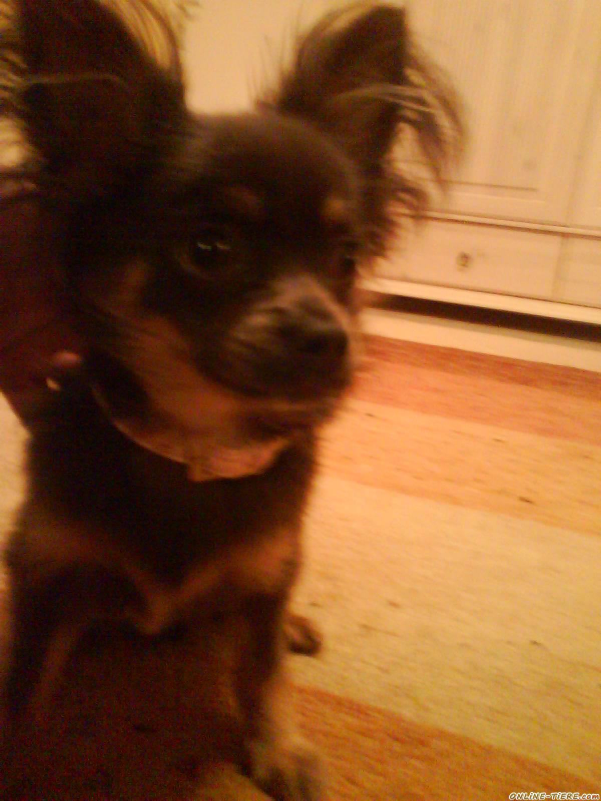 Teakholz Gartenmobel Streichen : Chihuahua Langhaar 70378 Stuttgart Hunde zu verkaufen 8803