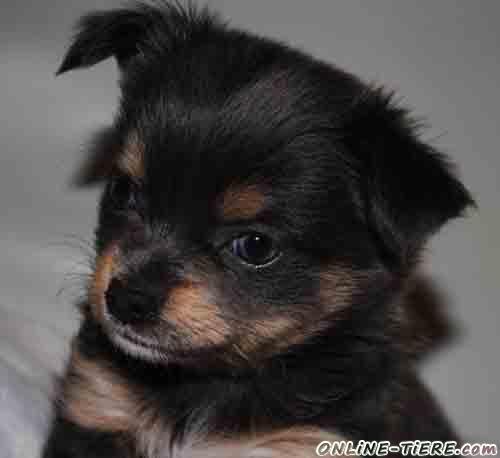 Sehr Susse Chihuahua Mix Welpen 71334 Waiblingen Hegnach Hunde Zu