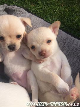 Biete Chihuahua welpen