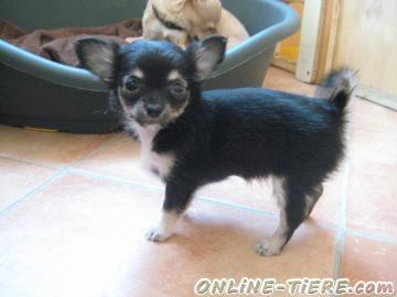 Biete Chihuahua