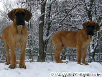 Biete Deutsche Dogge, Dogge