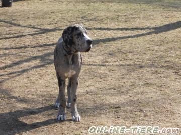 Biete Deutsche Dogge
