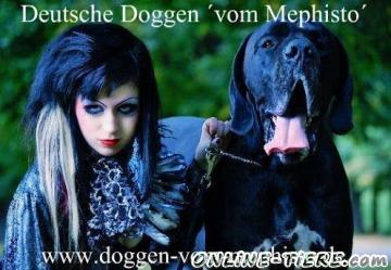 Biete Deutsche Doggen