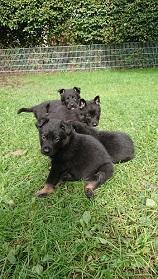 Biete Deutsche Schäferhund Welpen