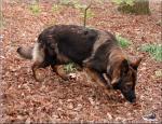 Biete Deutsche schäferhund