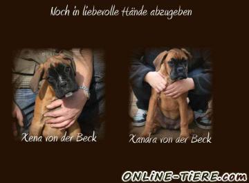 Biete Deutscher Boxer