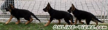 Biete Deutscher Schäferhund