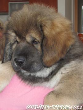 Biete Do Khyi - Tibet Dogge