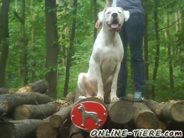 Biete Dogo Argentino